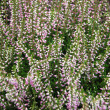 Bush  of blossom decorative  heather — Stock Photo
