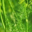 Stock Photo: Branch of green dill