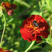 A bee on red marygold — Stock Photo