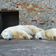 Two polar bears — Stockfoto