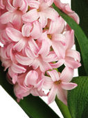 Pink hyacinth with drops of water — Stock Photo