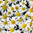 Ox-eye daisies — Stock Photo