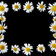 Stock Photo: Ox-eye daisies