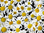 Ox-eye daisies — Stock Photo