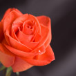 Stock Photo: Red rose, close-up
