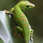 Green gecko — Stock Photo #1512739