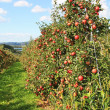 Apple garden — Stockfoto #1523858