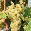 Yellow grapes — Stock Photo #1523892