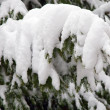 Fir covered by the snow — Stock Photo #1527057