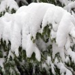 Fir covered by the snow - Stock Photo
