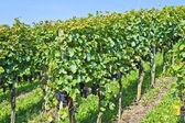 Blue grapes — Stock Photo