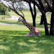 Giraffe Rests In The Shade — 图库照片