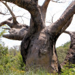 Twisted Tree — Stock Photo
