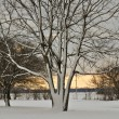 Stock Photo: Snowy Tree at Sunset