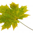 Leaf of maple isolated — Stock Photo #1516576