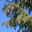 Pine tree against blue sky — Stock Photo