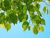 Tree green branch on blue sky — Stock Photo