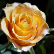 Stock Photo: Rose on defocused background