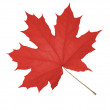 Leaf of maple isolated — Stock Photo #1543514
