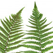 Fern leaf isolated — Stock Photo #1545041