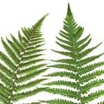 Fern leaf isolated — Stock Photo
