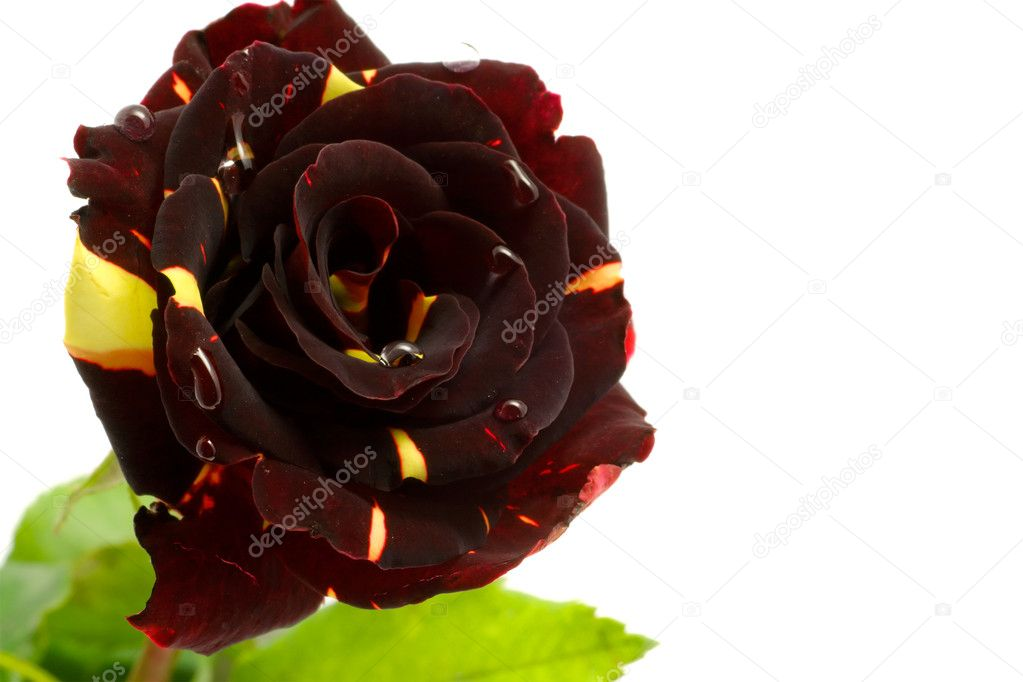 Dark vinous tiger rose. Isolated on white. — Stock Photo #1515007