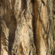 Texture of poplar bark — Stock Photo