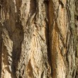 Texture of poplar bark — 图库照片