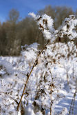Frosty twig — Stock Photo