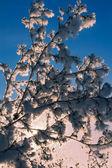 Karlı ağaç — Stok fotoğraf