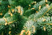 Fir-tree — Stock Photo