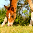 Stock Photo: Foal on meadow