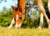 Foal on a meadow — Stock Photo