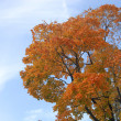Stock Photo: Yello maple on blue sky