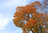Yello maple on blue sky — Stock Photo