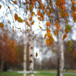 Stock Photo: Leaves of birch in autumn