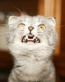 Cat with canines — Stock Photo
