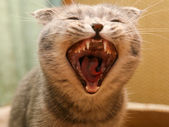 Malicious cat with canines — Stock Photo