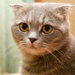 Scottish fold cat — Stock Photo