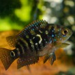 Stock Photo: Aquarium fish cichlasomcichlidae