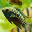 Stock Photo: Aquarium fish cichlasomand barbus