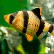 Stock Photo: Aquarium fish capoettetrazona