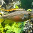 Aquarium fish pelvicachromis — Stock Photo