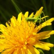 Stock Photo: Little green grasshopper