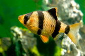 Aquarium fish capoeta tetrazona — Stock Photo
