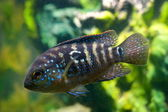 Aquarium fish cichlasoma cichlidae — Stock Photo