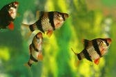 Aquarium fish capoeta tetrazona in group — Stock Photo
