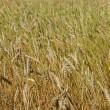 Golden wheat field — Stock Photo #1875318