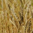 Golden wheat field — Stock Photo #1875345