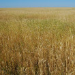 Golden wheat field — Stock Photo #1875461